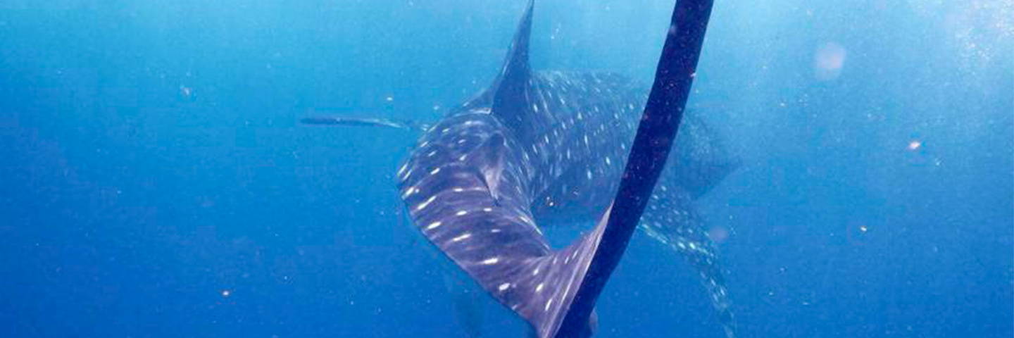 Whale Shark are Amazing